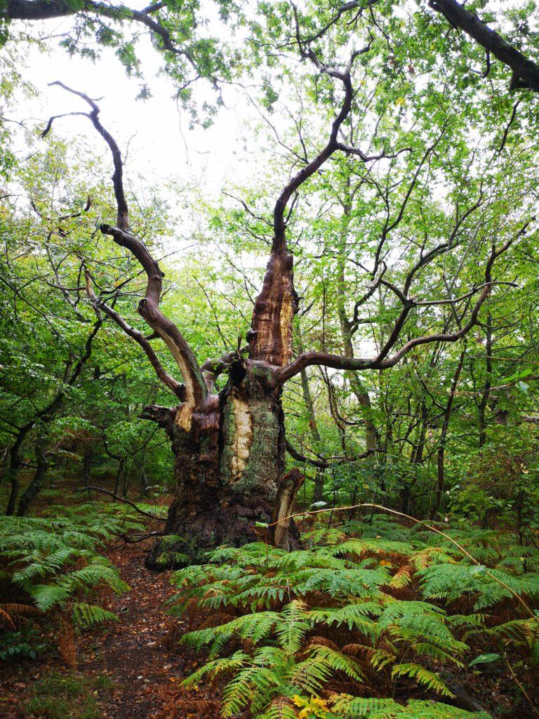 Insel Vilm Ruegen Wald alte Baeume