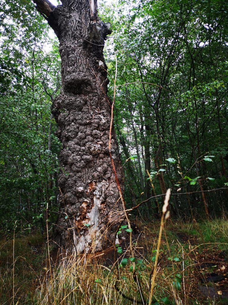 Insel Vilm Ruegen Wald besondere Baeume