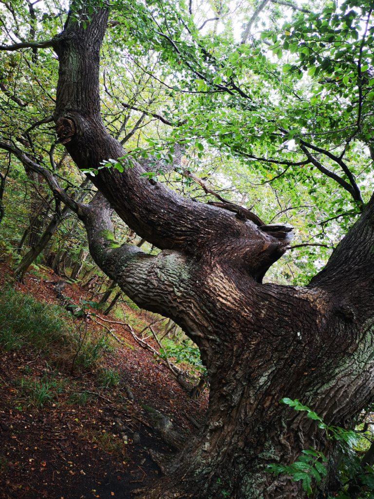 Insel Vilm Ruegen Wald sehr alte Baeume