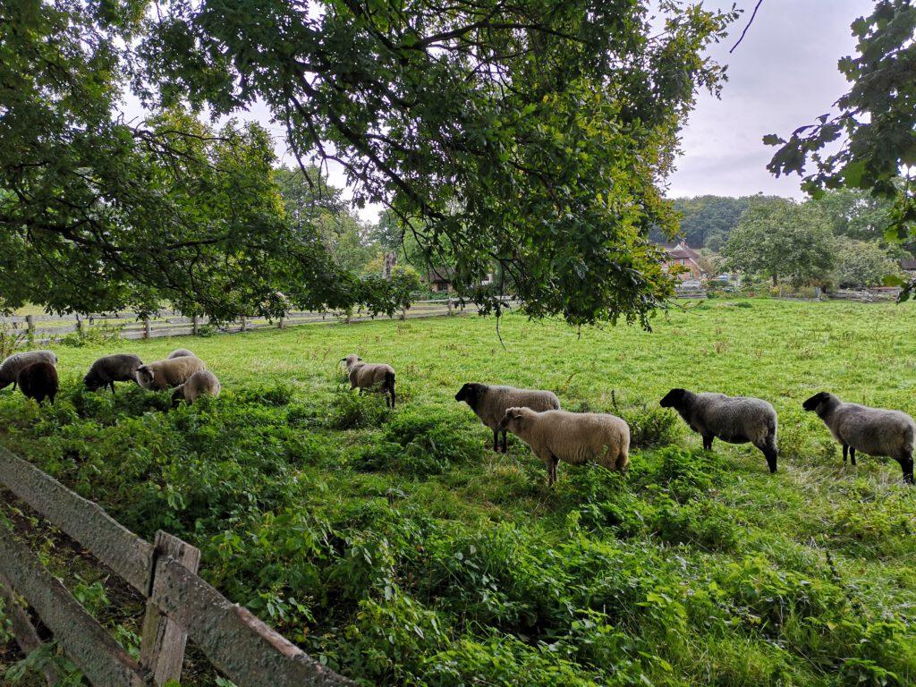 Schafe auf Insel Ruegen Radtour