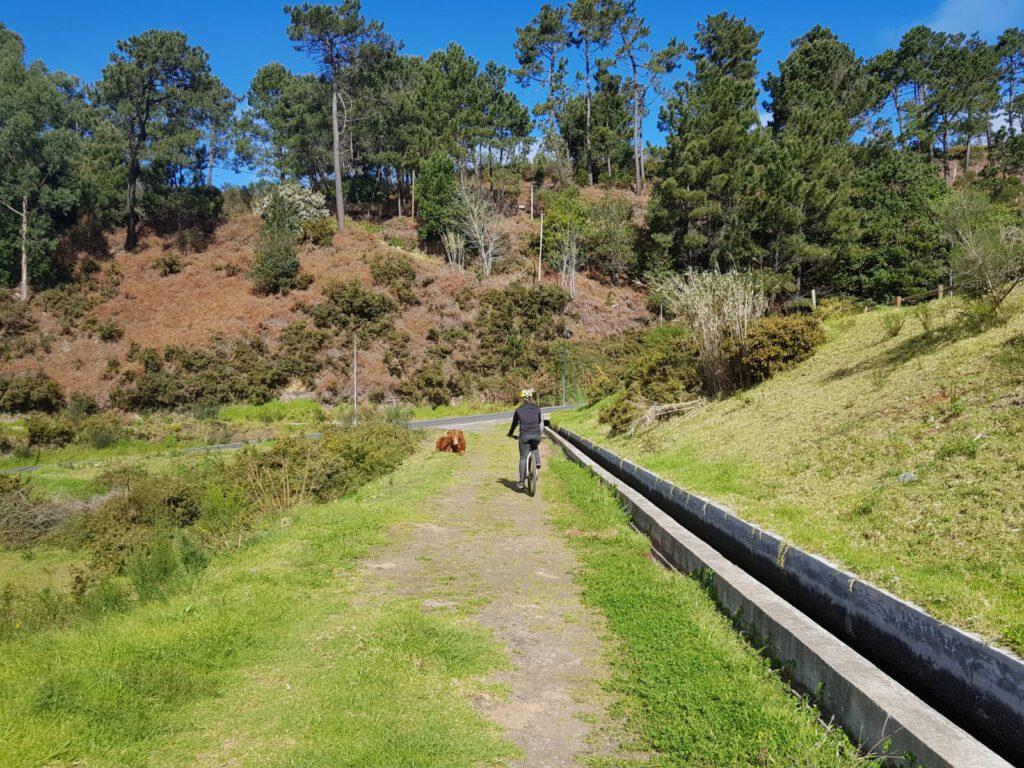 Kuh Fahrrad fahren auf Madeira